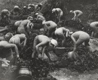12-Seaweed+Harvest,+1956